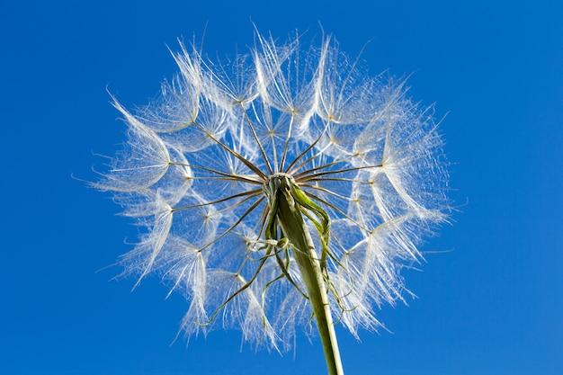 Paardebloem met zaden die in de blauwe hemel blazen