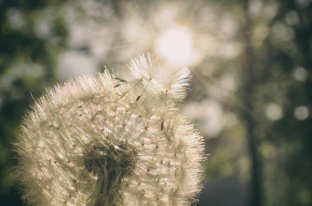 Paardebloem met zaden die naar de zon vliegen