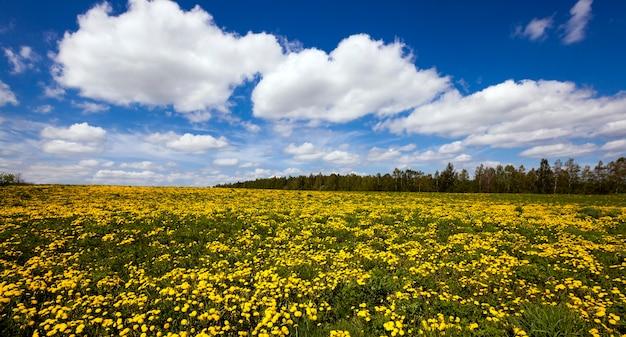 Paardebloemen - een veld waarop gele paardebloemen groeien. voorjaar