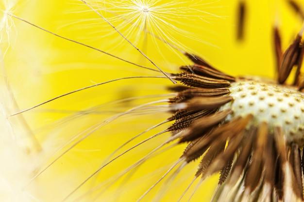 Paardebloemzaden die in wind in de zomer op geel blazen