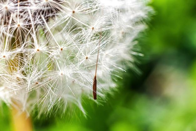 Paardebloemzaden die in wind op de zomergebied blazen