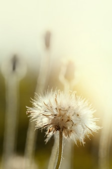 Paardebloemzaden in aard. bloem achtergrond.