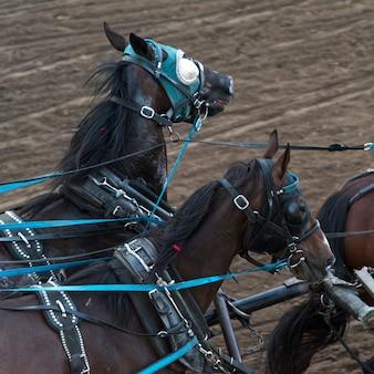 Paarden chuckwagon racen op de jaarlijkse calgary stampede, calgary, alberta, canada