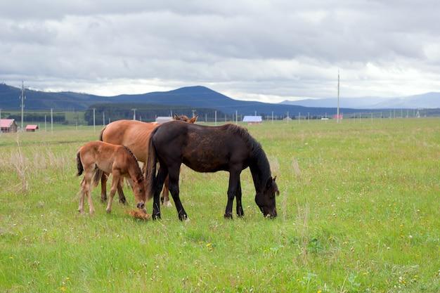 Paarden die op de boerderij grazen
