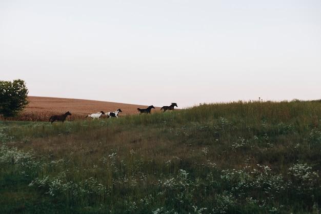 Paarden die op een heuvel lopen