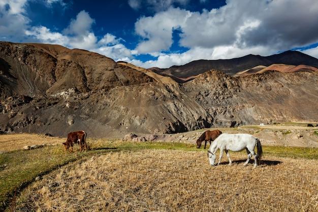 Paarden en koeien grazen in de himalaya. ladakh, india