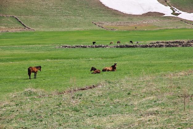Paarden in de bergen van de kaukasus, armenië