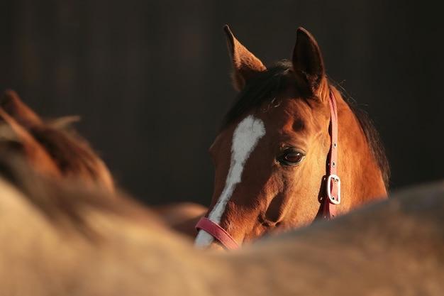 Paarden in de wei in de schemering
