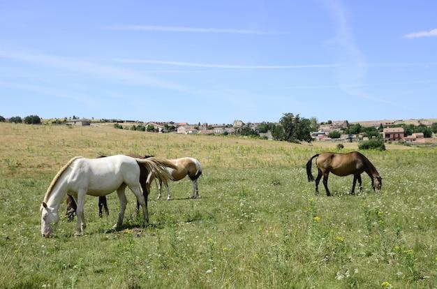 Paarden in het veld