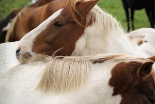 Paarden in nederland, boerderij, de natuur