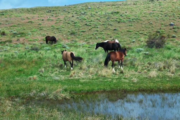 Paarden in torres del paine park, patagonië, chili