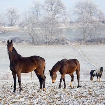Paarden omringd door een besneeuwd veld