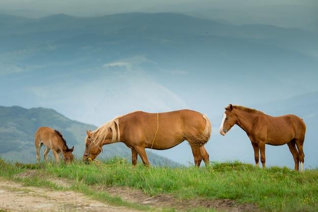 Paarden op groene alpenweide