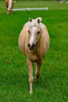 Paarden op paardenboerderij op gouden uur. land zomer landschap.