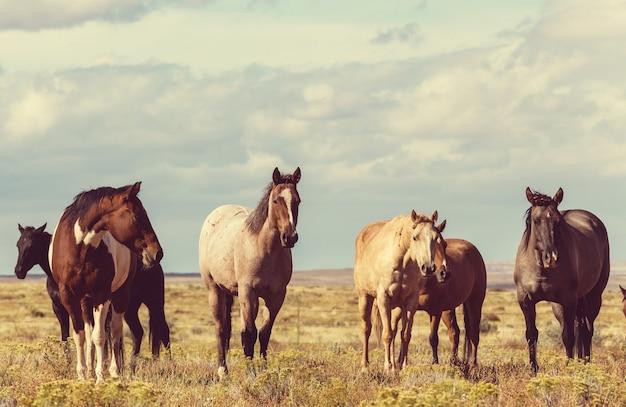 Paardenkudde loopt op weiland in chili, zuid-amerika