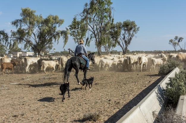 Paardrijder leidt een kudde dieren op een boerderij in australië