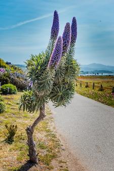 Paars bloeiende pride of madeira-plant aan de pacifische kust in californië
