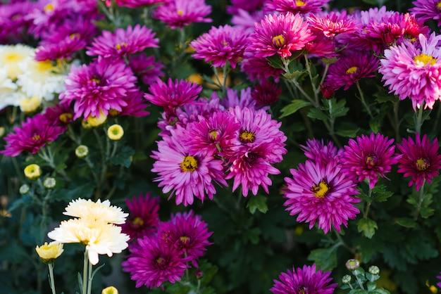 Paars-paarse herfstchrysanten bloeien in de tuin
