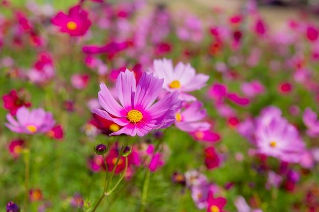Paars, roze, rood, kosmosbloemen in garde n met blauwe hemel en wolkenachtergrond