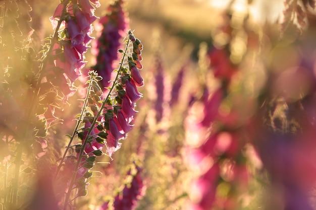 Paars vingerhoedskruid digitalis purpurea tijdens zonsopgang