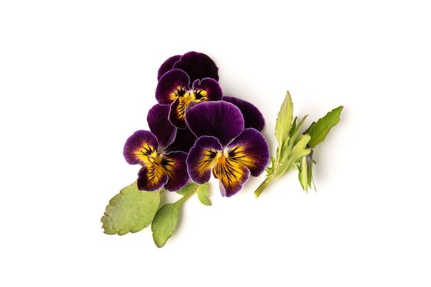 Paars viooltje geïsoleerd op wit