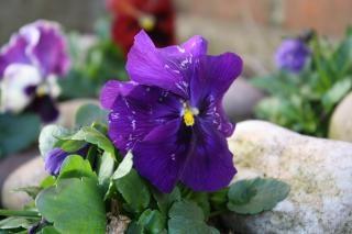 Paars viooltje