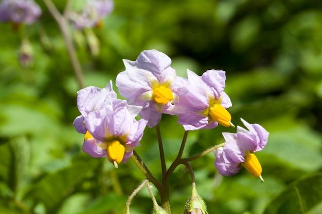 Paarse aardappelbloemen op een landbouwgebied, delen van de plant