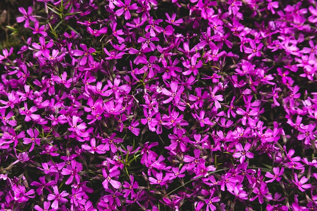 Paarse anjerbloemen