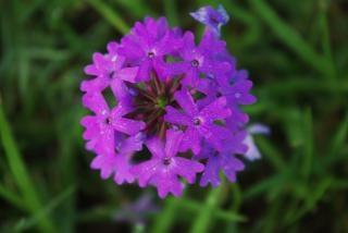 Paarse bloem, kleine