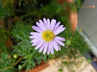 Paarse bloemen daisy