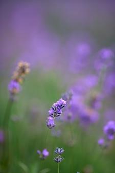 Paarse bloemen in bloeiende lavendelveld