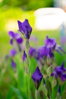 Paarse bloemen in de tuin