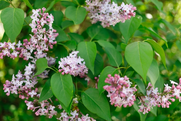 Paarse bloemen in het voorjaar