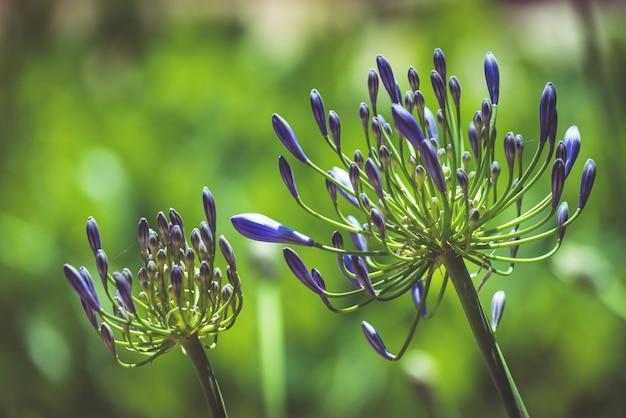 Paarse bloemen van afrikaanse lelie