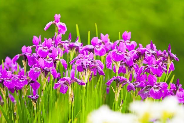 Paarse bloemen van irissen in de natuur