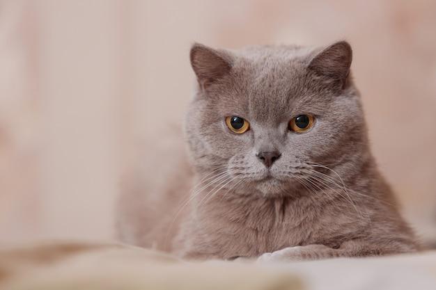 Paarse britse kat. de kat ligt op het bed.