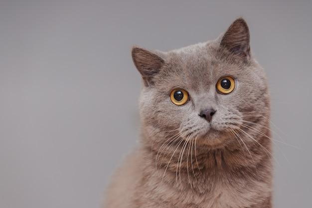 Paarse britse kat. portret van een dier.