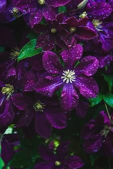 Paarse clematis bloemen in waterdruppels, verticaal frame-opname