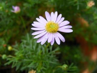 Paarse daisy bloem, seizoenen