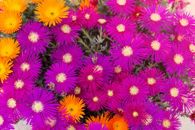 Paarse en oranje chrysant bloemen, zomer achtergrond