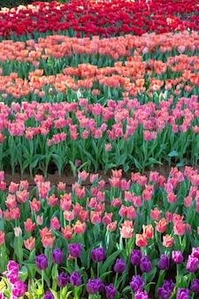 Paarse en rode tulp bloeien mooi in de lente van de tuin.