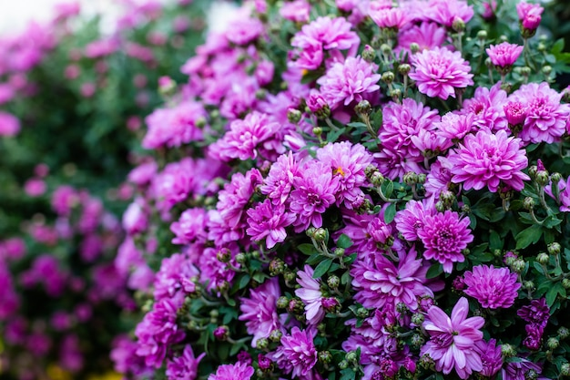 Paarse en roze chrysanten bloemen.