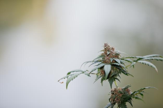 Paarse hennep bloeit medicinale cannabis.