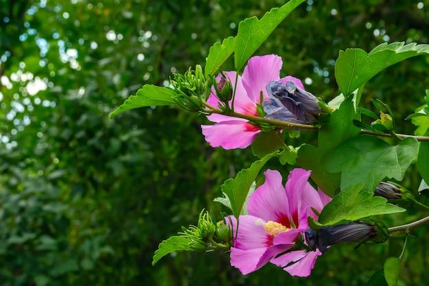 Paarse hibiscusbloem op een struik tegen een achtergrond van gebladerte