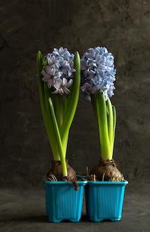 Paarse hyacinten in blauwe bloempotten