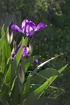 Paarse iris die in de lente in de zon in de tuin bloeit