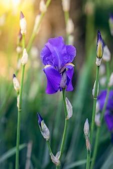 Paarse irisbloem in de stralen van de lentezon