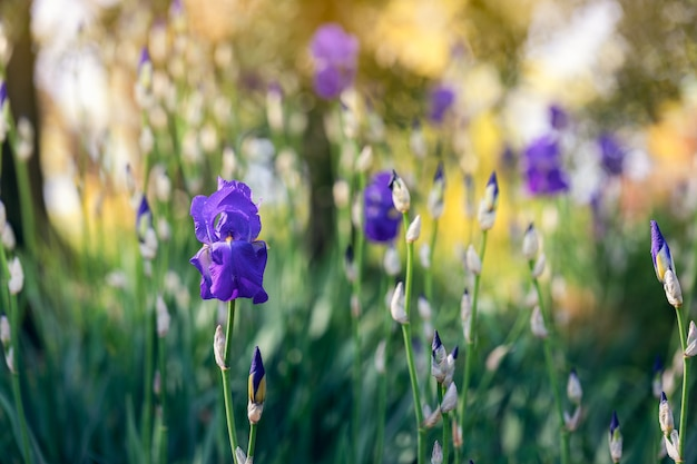 Paarse irissen in een lentetuin (focus op bloem,) foto in impressionistische stijl