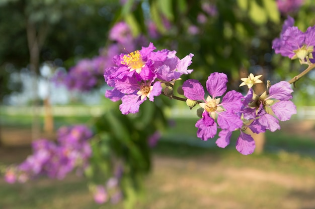 Paarse lagerstroemia-speciosa, de bloemboom van de koningin in thaise openluchtaard