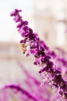 Paarse lavendel bloemen en bijen
